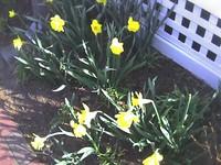 06033_first_daffodil